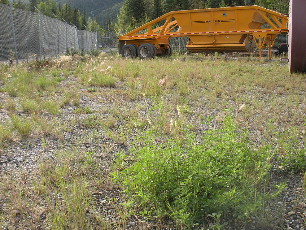 Sweetclover in equipment staging area