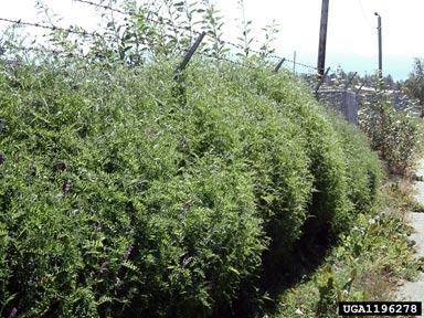 Bird Vetch Growing Up A Fence